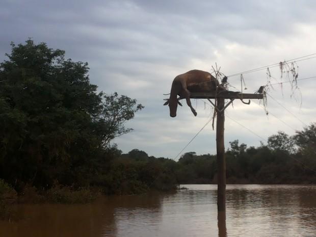 Após cheia do Rio Uruguai, vaca fica pendurada em poste em São Borja