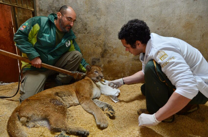 Puma resgatado pela BM se recupera no GramadoZoo