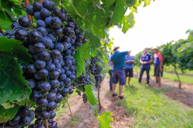 Produtores e vinícolas da Serra negociam novo preço mínimo da uva
