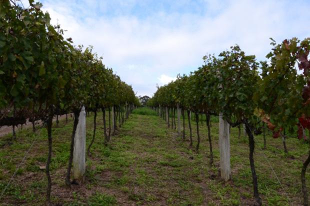 Congresso Mundial do Vinho de 2016 será realizado em Bento Gonçalves