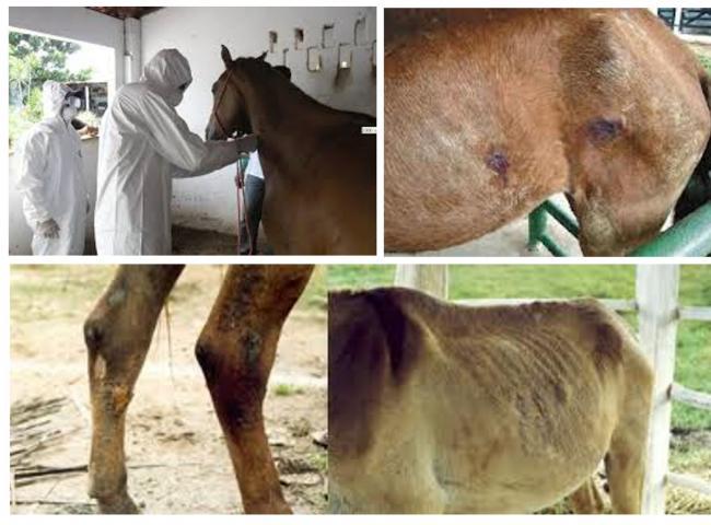 Estado do RS tem 17 animais infectados com a doença do mormo