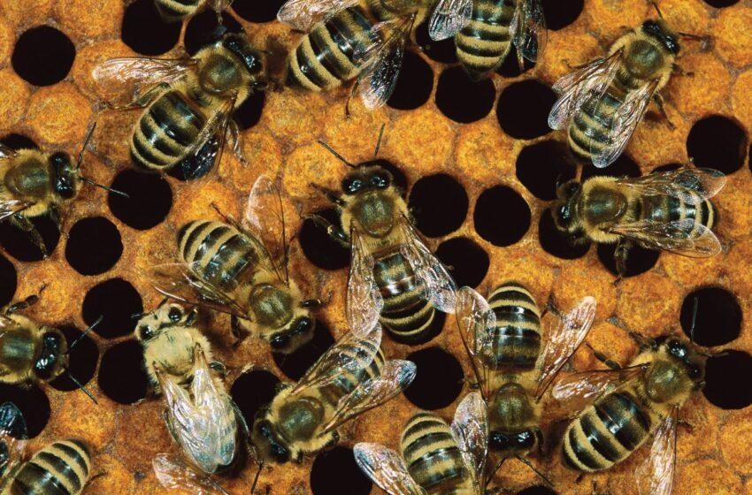 Por que salvar as abelhas