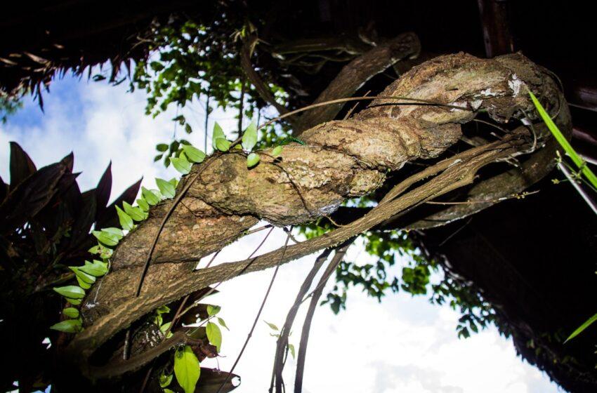 Chá de ayahuasca pode, sim, causar psicose e até matar