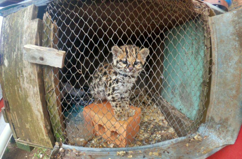 Brigada Militar flagra felino silvestre mantido em cativeiro em Vacaria